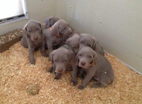 Weimaraner Puppies for sale in Glasgow, KY 42141, USA. price -USD