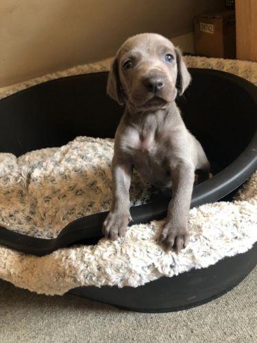 Weimaraner Puppies for sale in FL-113, Jacksonville, FL, USA. price 500USD