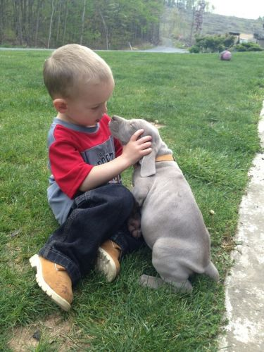 Weimaraner Puppies for sale in Mcconnellsburg, PA 17233, USA. price 750USD