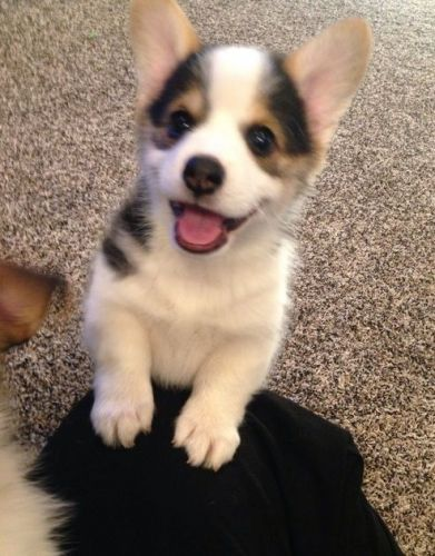 Welsh Corgi Puppies for sale in Southington Ave, Southington, CT 06489, USA. price -USD