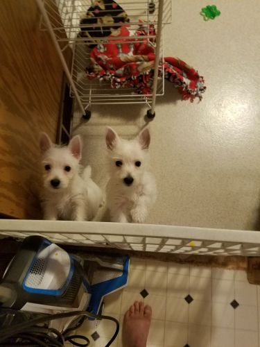 West Highland White Terrier Puppies for sale in M-40, Gobles, MI 49055, USA. price 1500USD