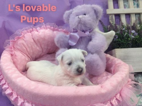 West Highland White Terrier Puppies for sale in 4639 NC-42, Asheboro, NC 27205, USA. price 1000USD