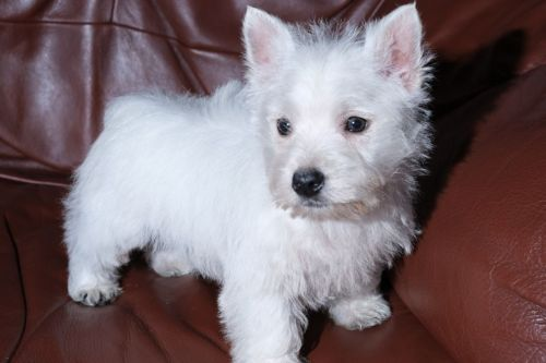 West Highland White Terrier Puppies for sale in FL-113, Jacksonville, FL, USA. price 500USD