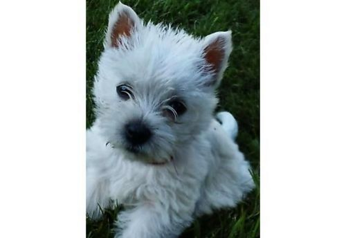 West Highland White Terrier Puppies for sale in Stanwood, WA 98292, USA. price 1400USD