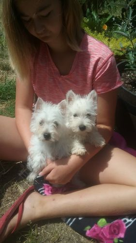 West Highland White Terrier Puppies for sale in Stanwood, WA 98292, USA. price 13USD
