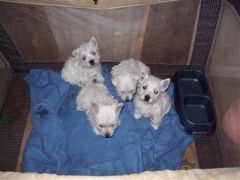 West Highland White Terrier Puppies for sale in Dallas, TX, USA. price 599USD