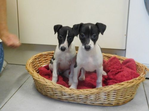 Whippet Puppies for sale in Austin, TX, USA. price 389USD