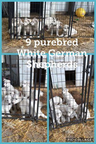 White Shepherd Puppies for sale in Albert Lea, MN 56007, USA. price 500USD