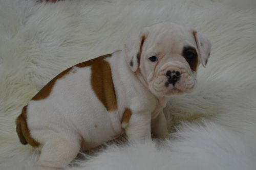 Whoodles Puppies for sale in Caulfield, MO 65626, USA. price 1200USD