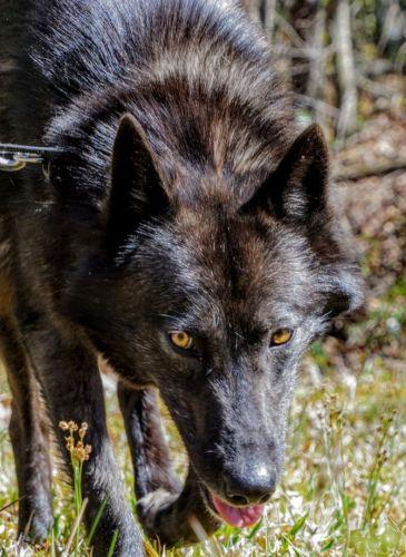 Wolfdog Sale United States | Hoobly US