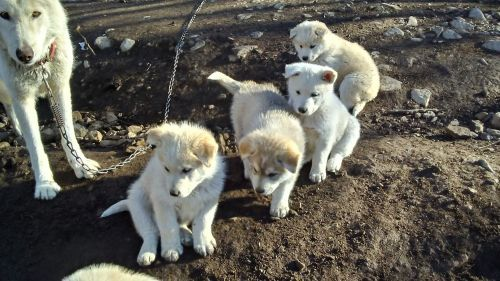 Wolfdog Puppies for sale in Morton, WA 98356, USA. price 650USD