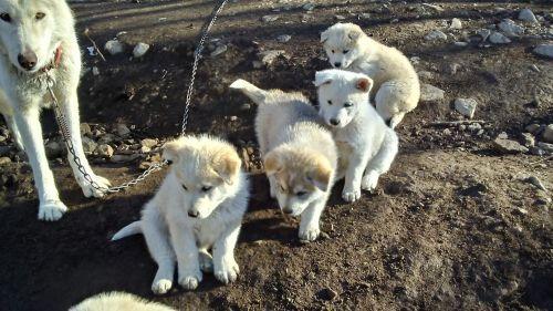 Wolfdog Puppies Sale | Jasper, FL #2992 | Hoobly US