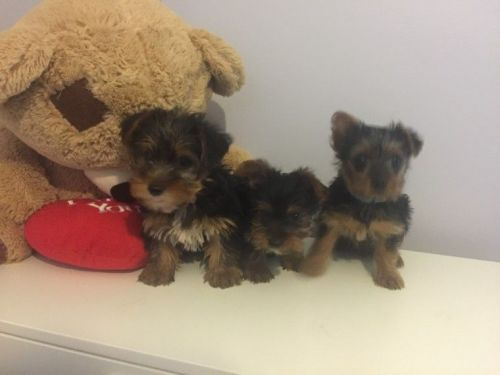 YorkiePoo Puppies for sale in Birmingham, MI, USA. price 200USD