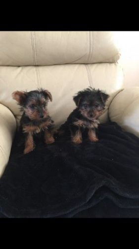 YorkiePoo Puppies for sale in Topeka, KS, USA. price 400USD