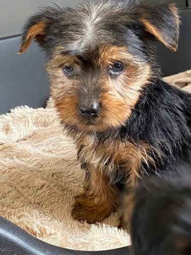 YorkiePoo Puppies for sale in Los Angeles, CA, USA. price 500USD