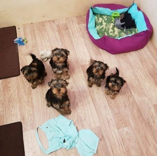 YorkiePoo Puppies for sale in Chicago Heights, IL, USA. price 250USD