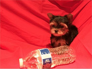 Yorkie puppies for sale san antonio