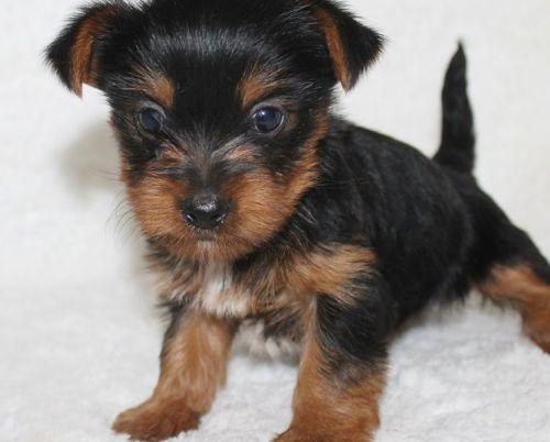 Yorkshire Terrier Puppies for sale in Brockway, MT 59214, USA. price 350USD