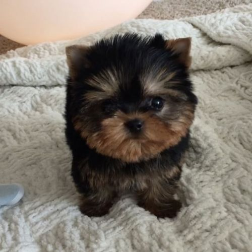 Yorkshire Terrier Puppies for sale in Cheyenne, WY, USA. price 300USD