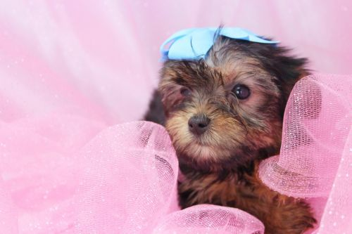 Yorkshire Terrier Puppies for sale in Missoula, MT, USA. price -USD