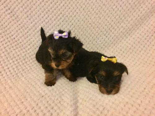 Yorkshire Terrier Sale Houston | Hoobly US