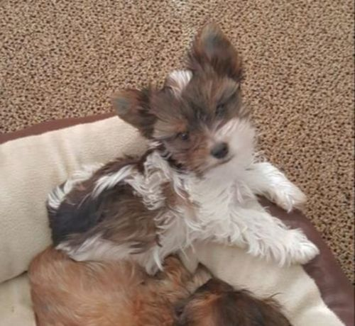 Yorkshire Terrier Puppies for sale in Gillette St, Sheridan, WY 82801, USA. price 700USD