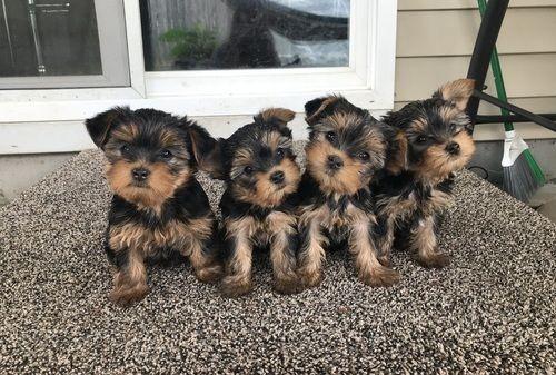 Teacup Puppies For Sale In Va
