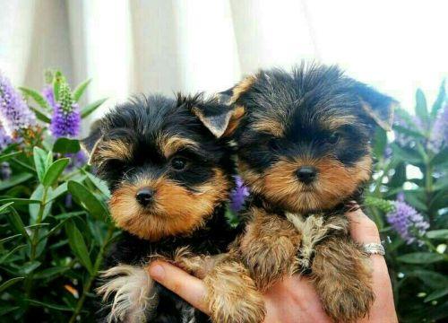 Yorkshire Terrier Sale San Francisco County | Hoobly US
