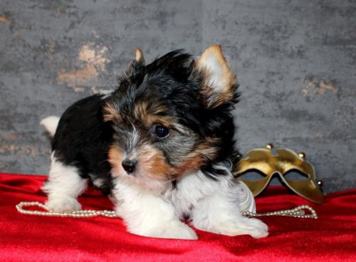 Yorkshire Terrier Puppies for sale in Las Cruces St, Albuquerque, NM 87110, USA. price 500USD