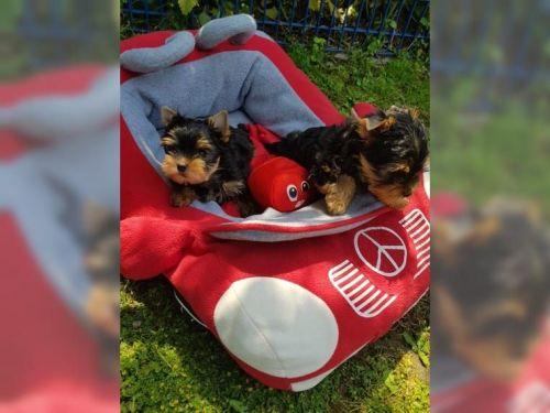 Austrailian Blue Heeler Puppies Sale | Dallas, TX #6915