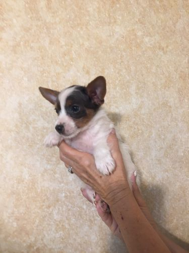 Yorkshire Terrier Puppies for sale in Battle Mountain, NV 89820, USA. price -USD