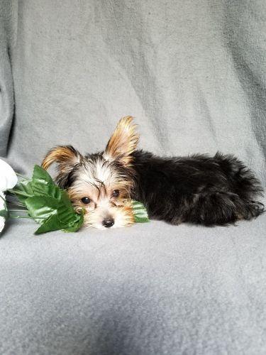 Bugg Puppies Sale | Rural Retreat, VA #768 | Hoobly US