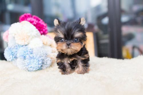 Yorkshire Terrier Puppies for sale in Mutual, OK 73853, USA. price 500USD