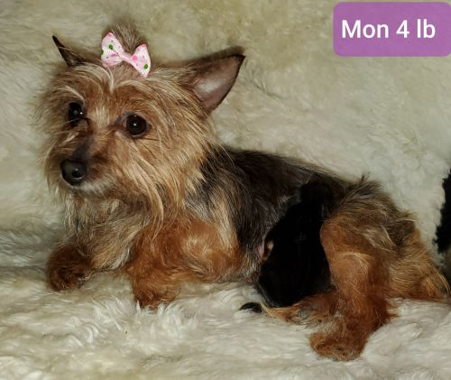 Yorkshire Terrier Puppies for sale in Delta Junction, AK, USA. price 2500USD