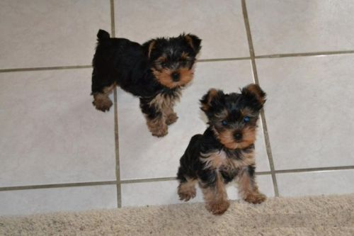 Yorkshire Terrier Puppies for sale in Virginia Beach, VA, USA. price 450USD