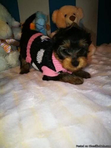 Yorkshire Terrier Puppies for sale in Colorado Springs, CO, USA. price 500USD