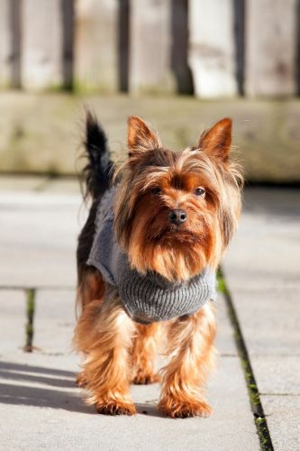 Yorkshire Terrier Puppies for sale in Florence, SC, USA. price 400USD