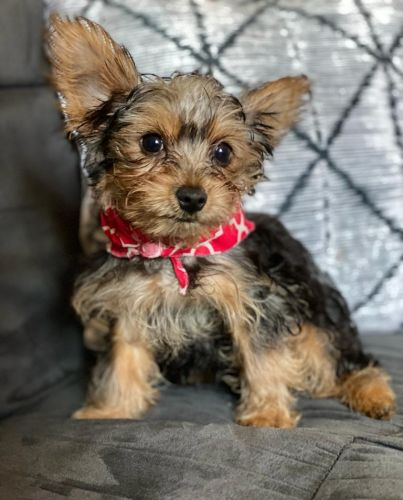 Yorkshire Terrier Puppies for sale in Blue Island, IL, USA. price 1900USD