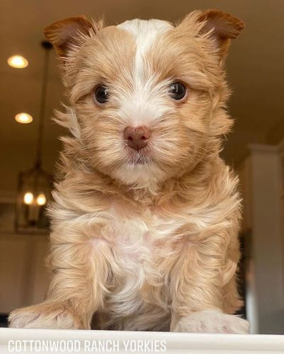 Yorkshire Terrier Puppies for sale in Minneapolis, MN, USA. price 700USD