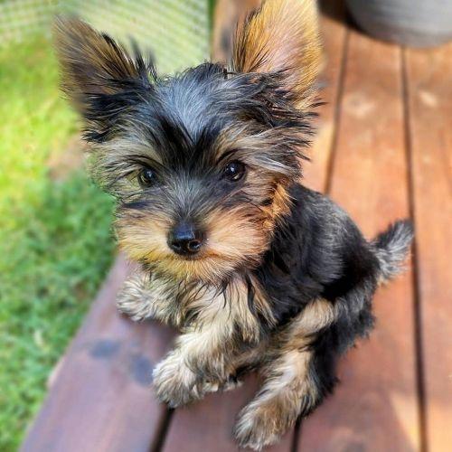 Puppies Sale Hillsborough County (5) | Hoobly.US