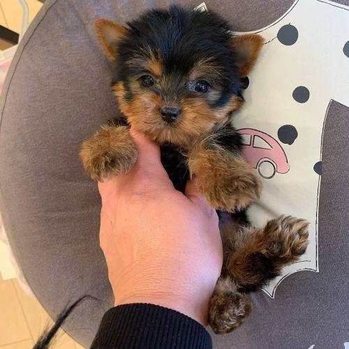 Pomsky Puppies Sale | Boston, MA #10147 | Hoobly.US