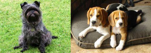 Affenpinscher vs Beagle