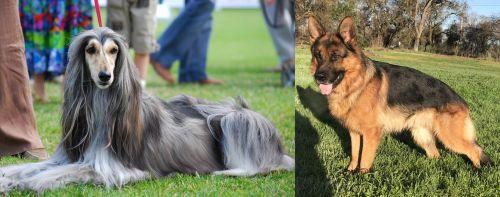Afghan Hound vs German Shepherd