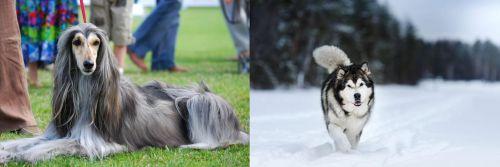 Afghan Hound vs Siberian Husky