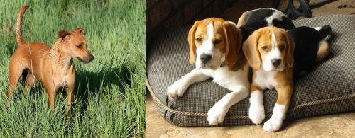 Africanis vs Beagle