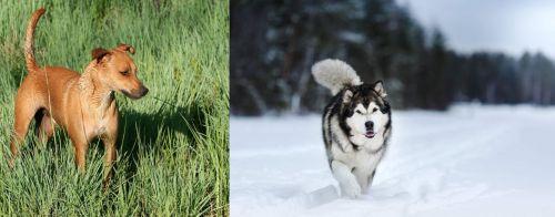 Africanis vs Siberian Husky