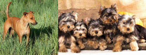 Africanis vs Yorkshire Terrier