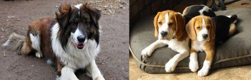 Aidi vs Beagle