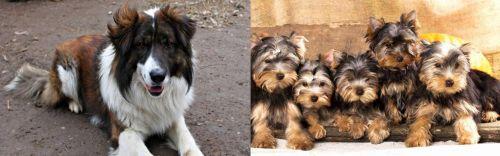 Aidi vs Yorkshire Terrier