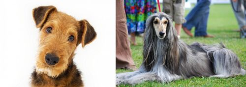 Airedale Terrier vs Afghan Hound